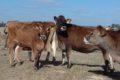Vaches jersiaises