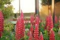Cabine-et-Lupins—Visuel-Le-Jardin-Spa—Clemence-LE-SOLLIEC