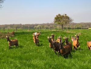 Les chèvres du Château Vert